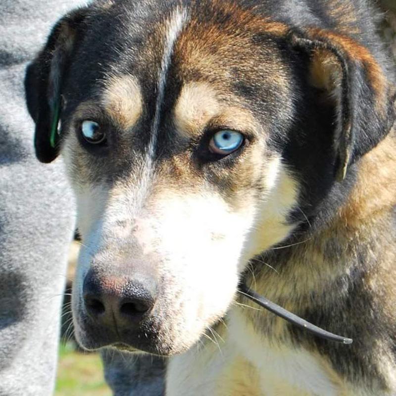 Куче със сини очи