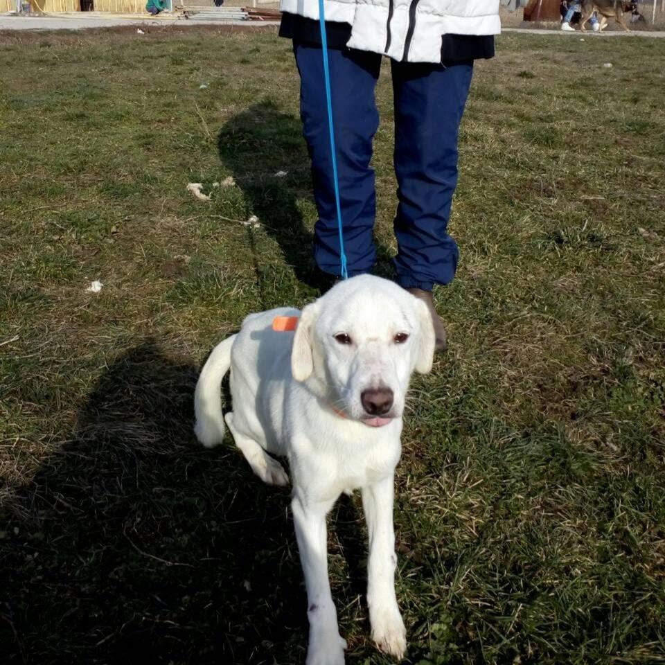 бяло куче за осиновяване